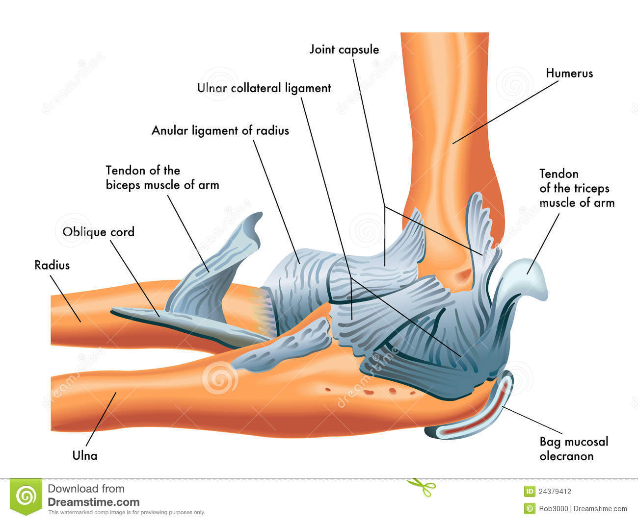 Elbow Anatomy Diagram Ligaments - Wiring Diagram For Light Switch •