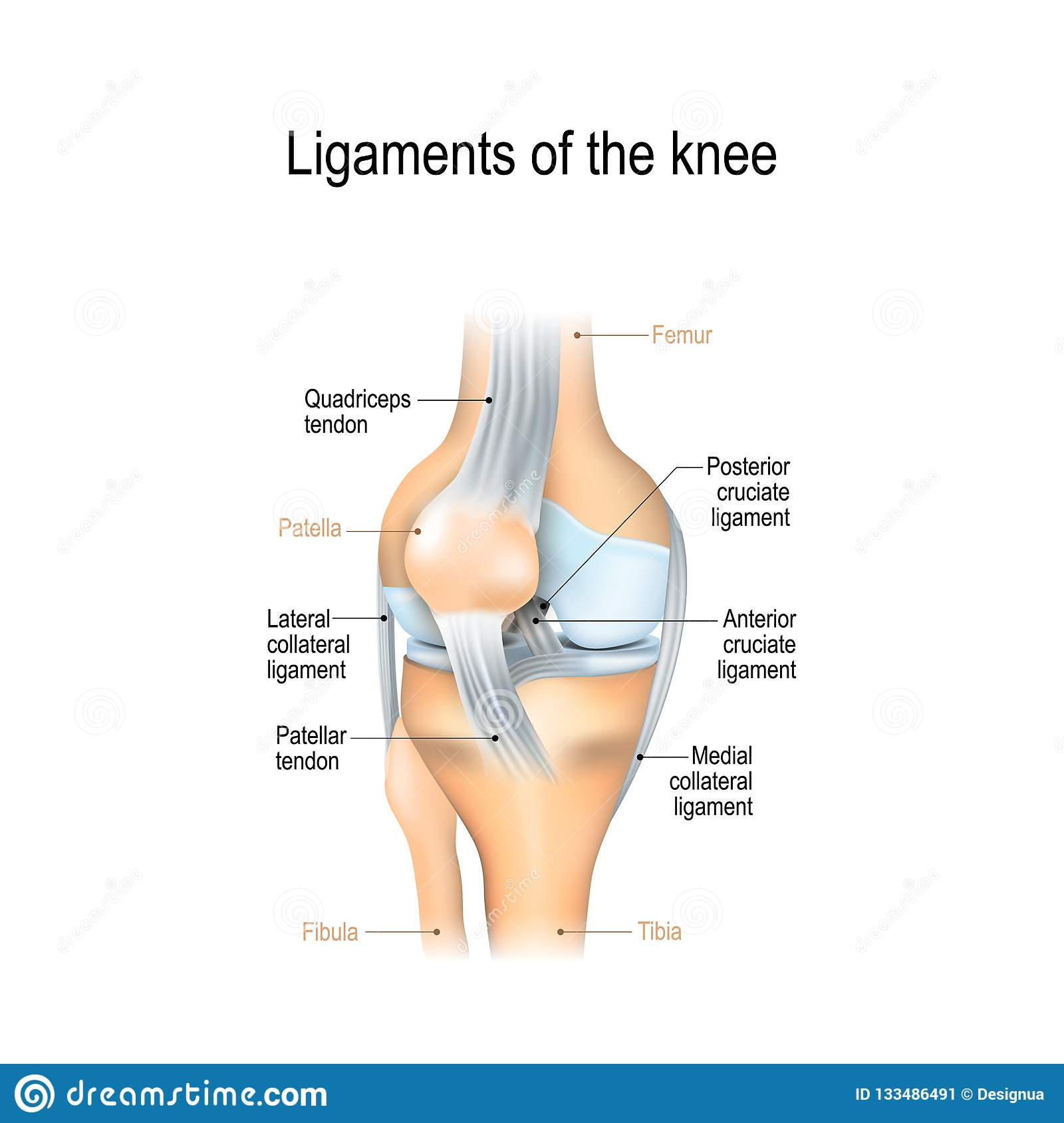 Ligaments Of The Knee Stock Vector Illustration Of Medial 133486491