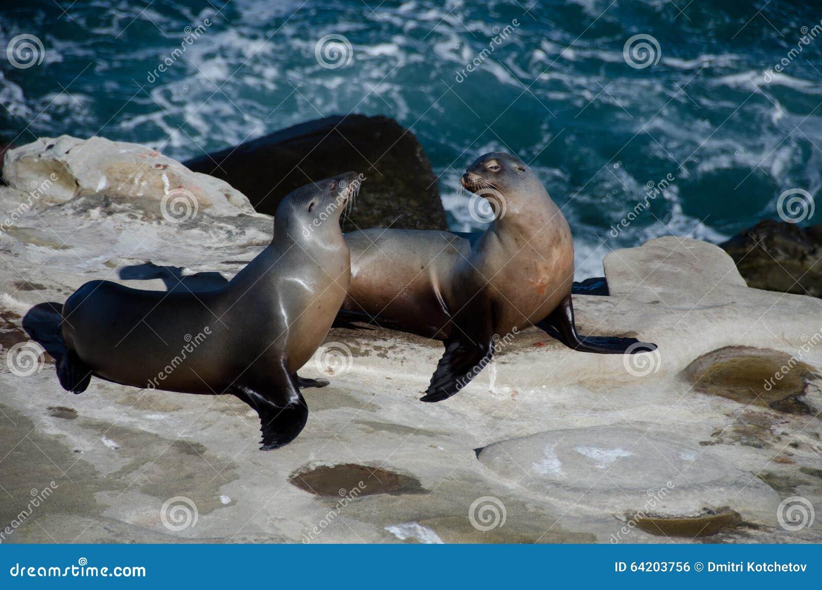 Ligar pares de los leones marinos de California cerca de la ensenada de La Jolla