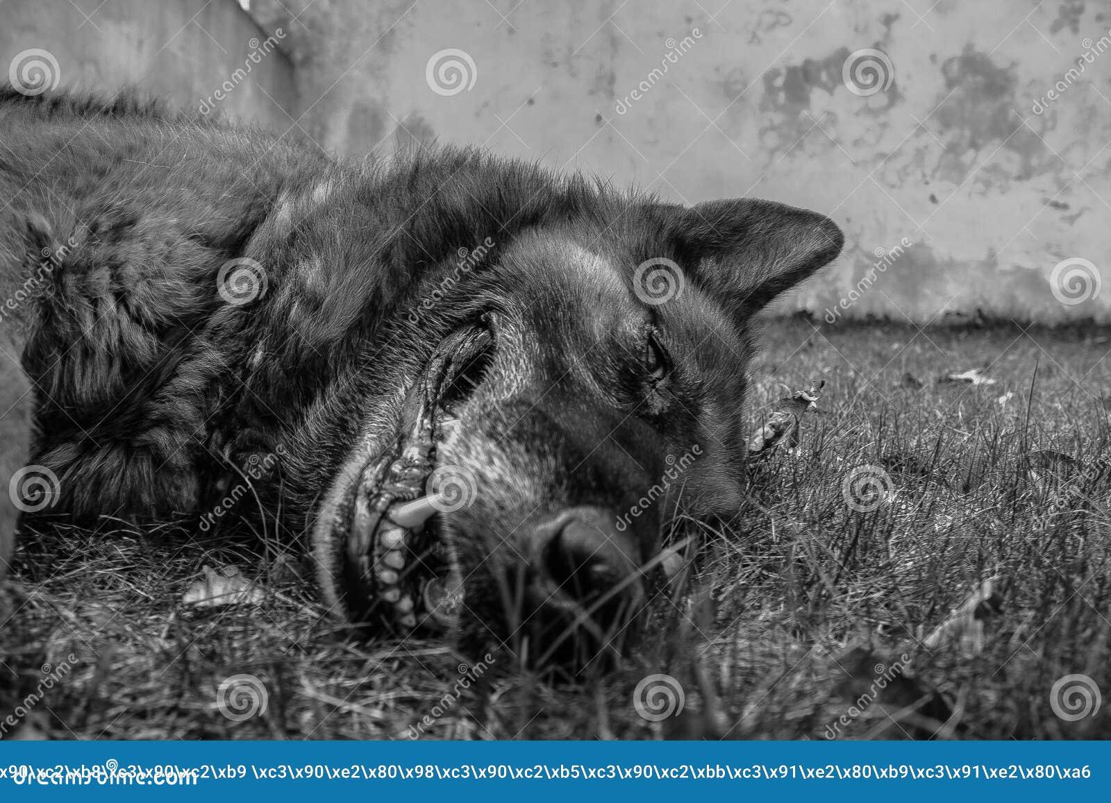 Ligga för hundgräs