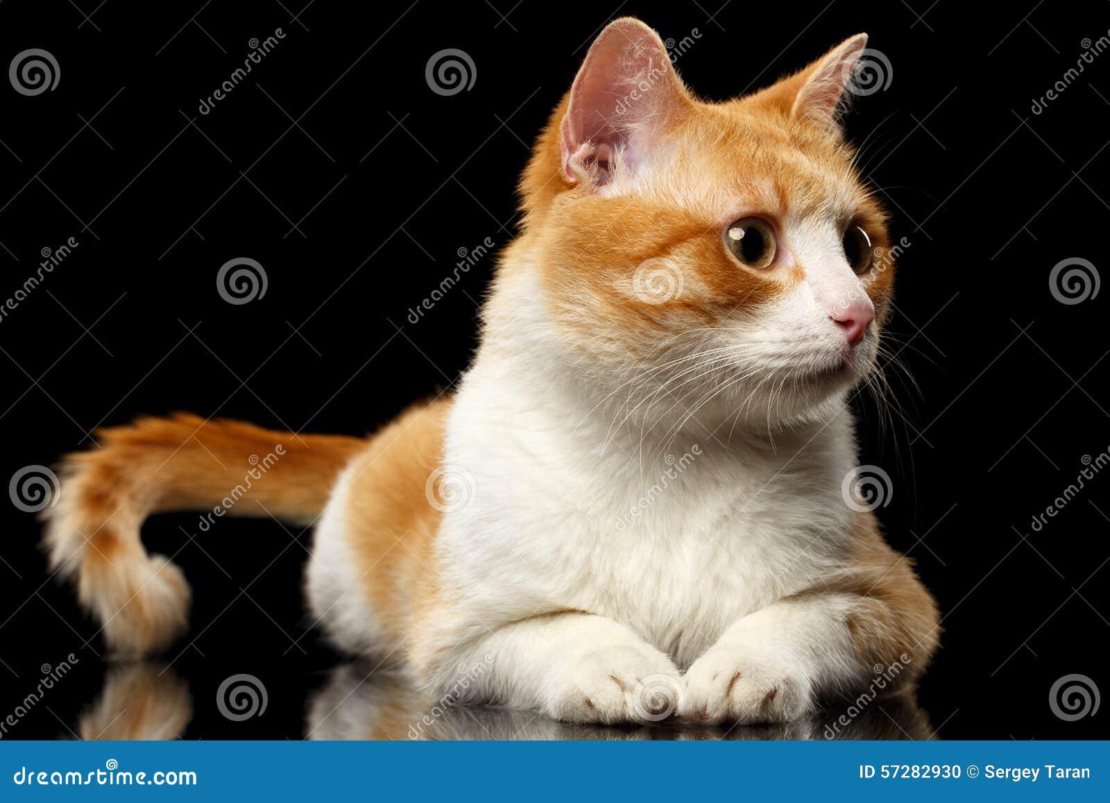 Liggande Ginger Cat Surprised Looking på rätten på den svarta spegeln
