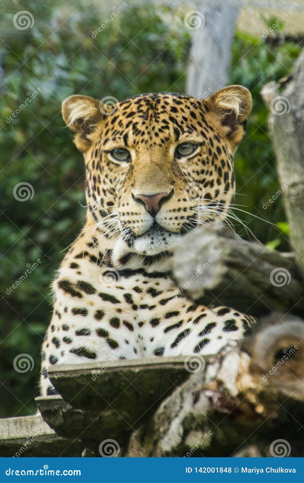 Liggande tree för leopard