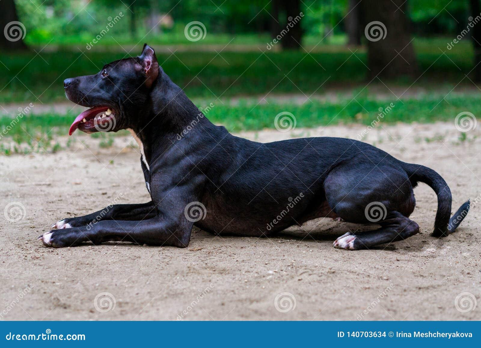 Ligger den svartvita amerikanska gropen bull terrier för ståenden ismiles med tungan i parkerar