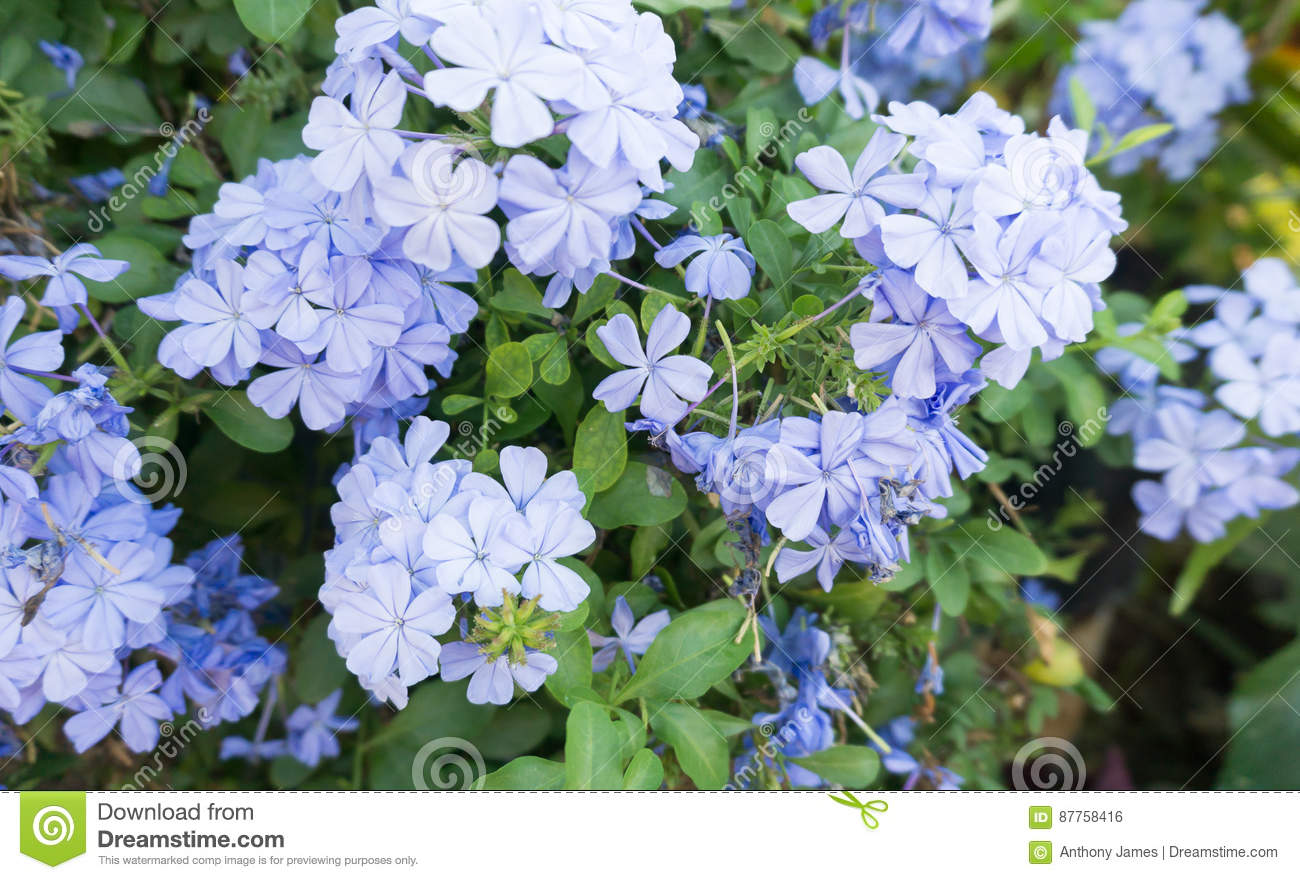 Light Blue Flowers From The Philippines Stock Photo Image Of Park