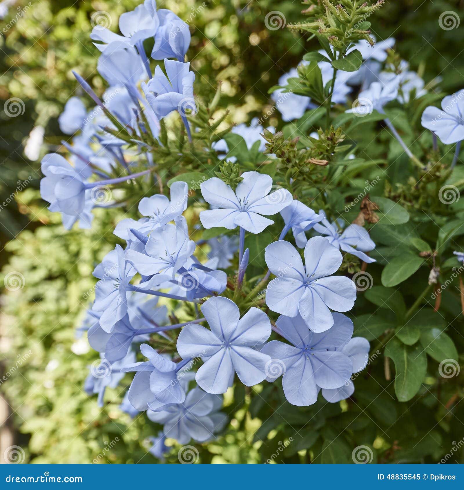 Light blue jasmine flowers bouquet closeup stock image image of light blue jasmine flowers bouquet closeup izmirmasajfo
