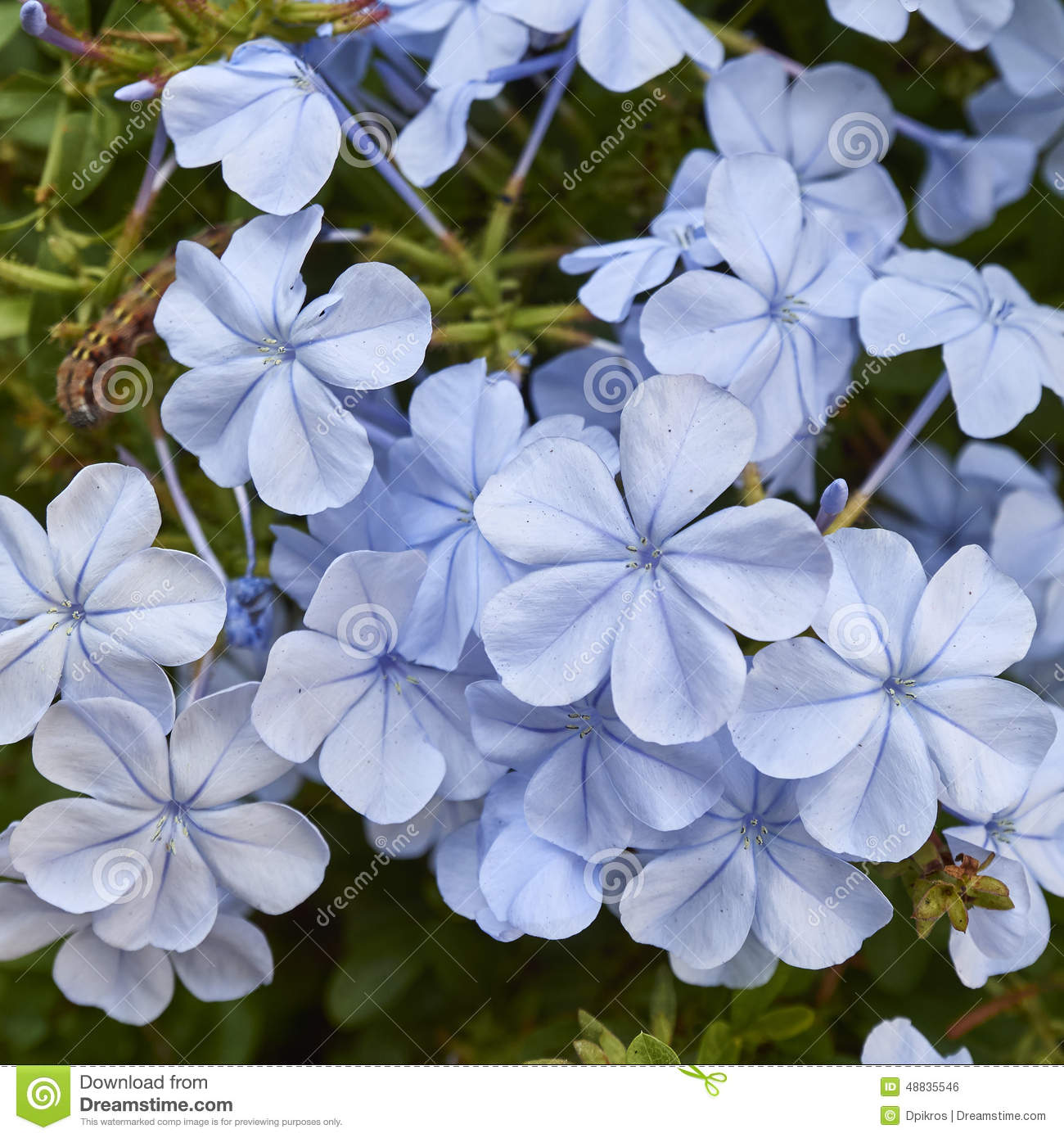 Light Blue Jasmine Flowers Bouquet Closeup Stock Photo Image Of