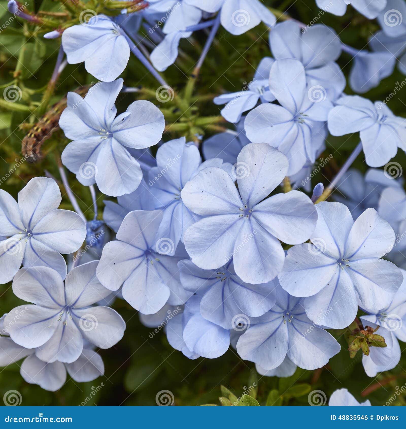 Light blue jasmine flowers bouquet closeup stock photo image of light blue jasmine flowers bouquet closeup izmirmasajfo