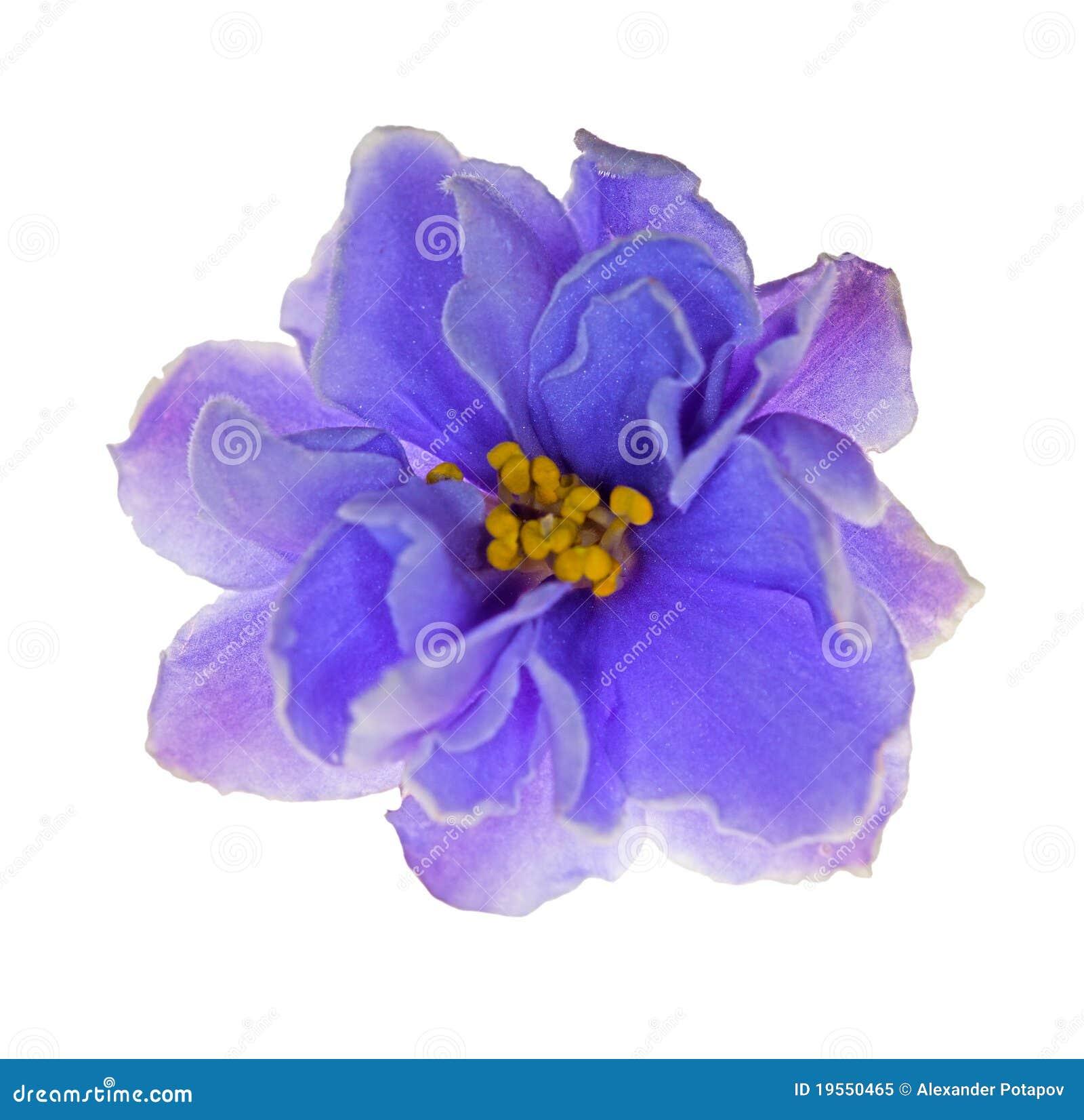 Light Blue Violet Flower On White Stock Image Image Of Pattern