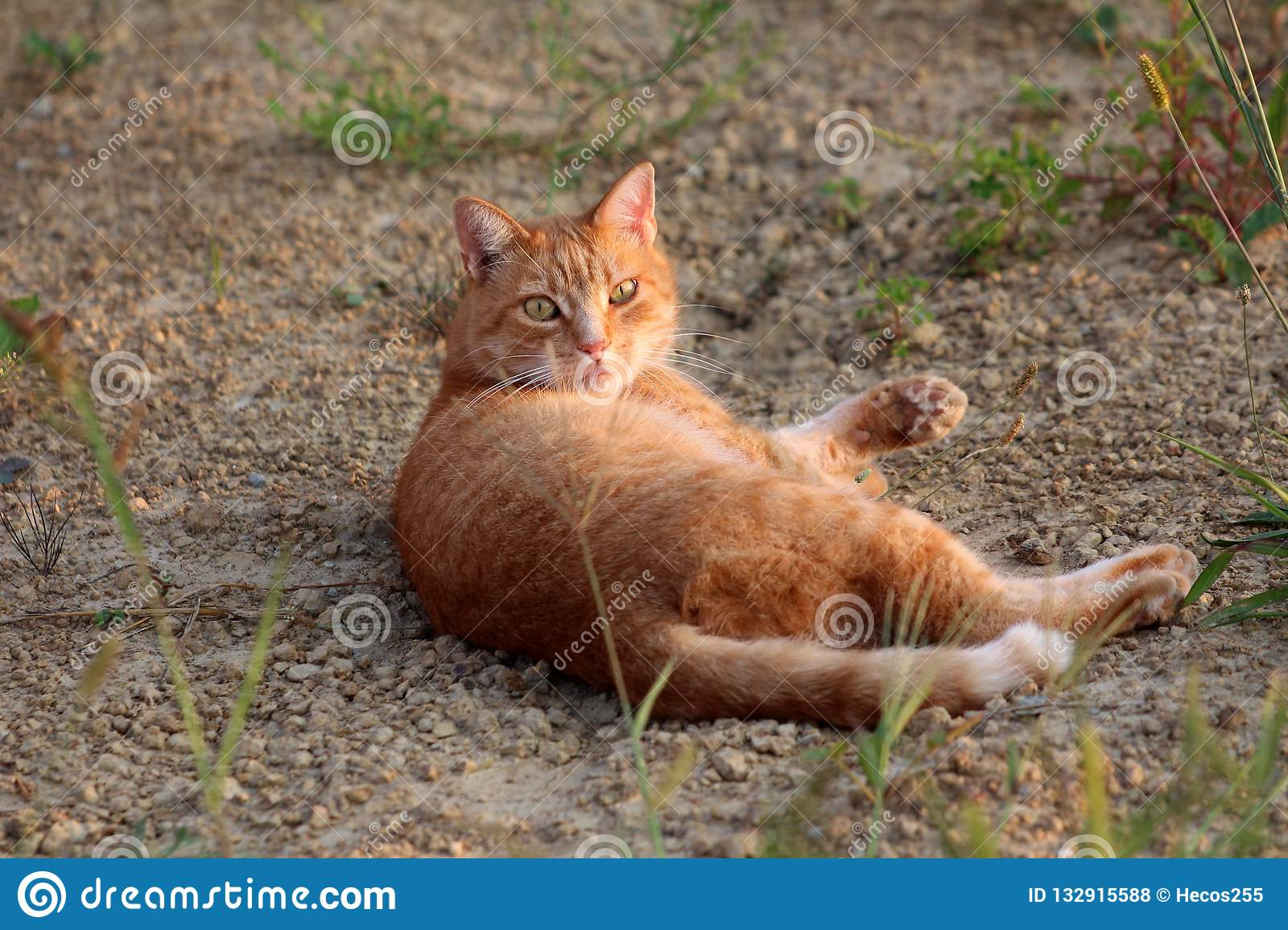 Light brown family cat woken from dream while lying on gravel and looking confused directly at camera