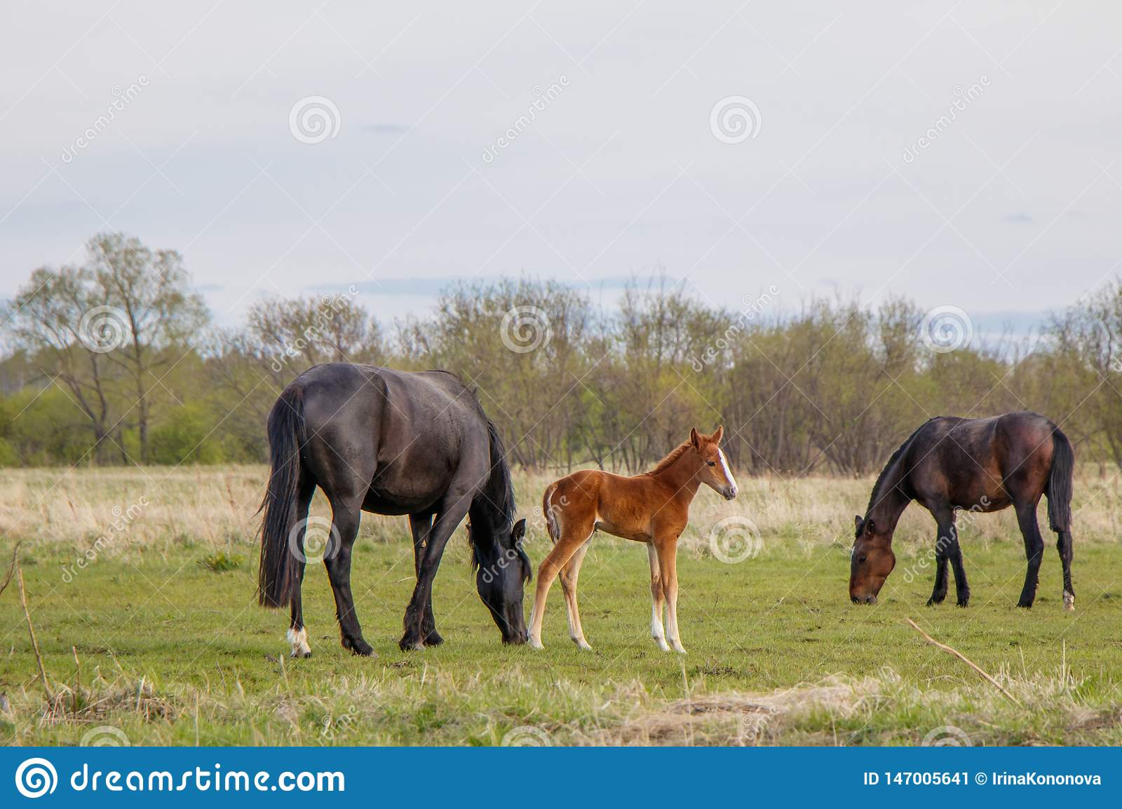 A light brown foal and two dark horses graze in the pasture
