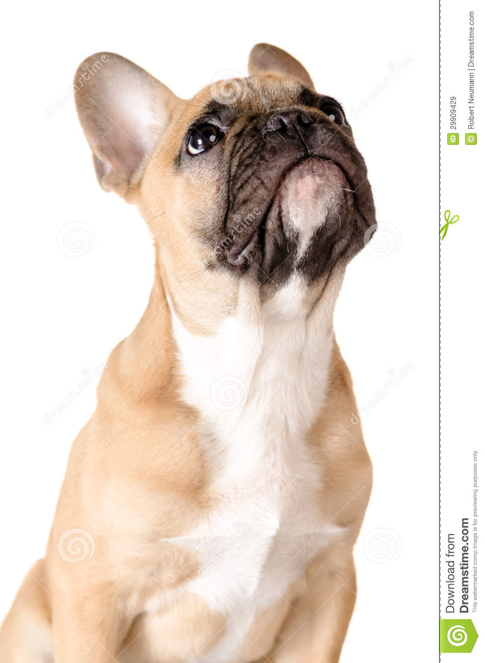 Bron France  city pictures gallery : Light brown french bulldog before white background.