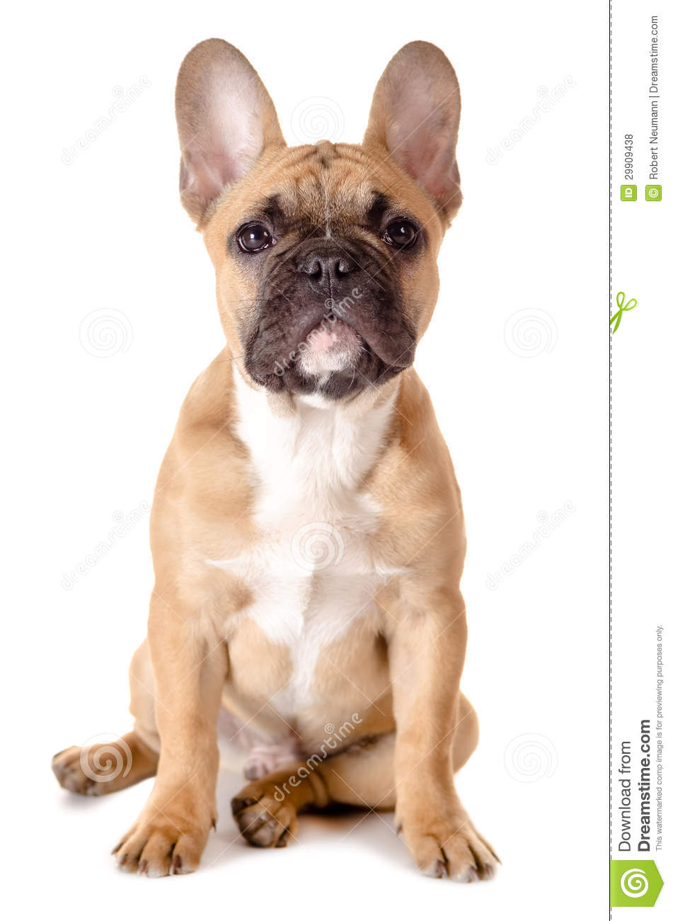 Bron France  City new picture : Light brown french bulldog before white background.