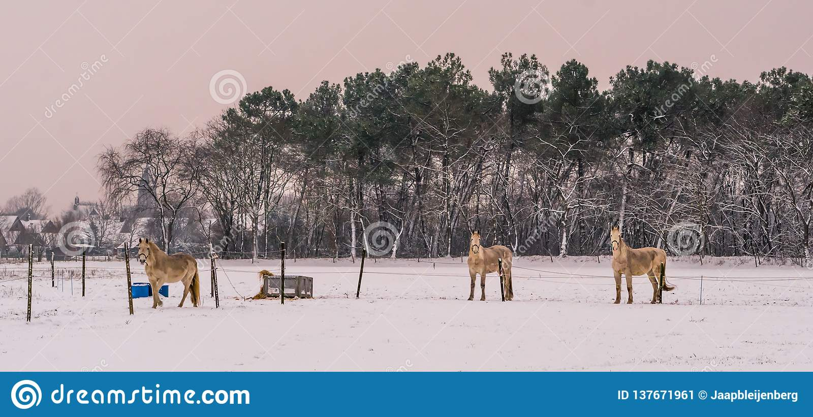 Light brown horses standing in the pasture and looking at the camera during winter season, white snowy meadow, beautiful nature