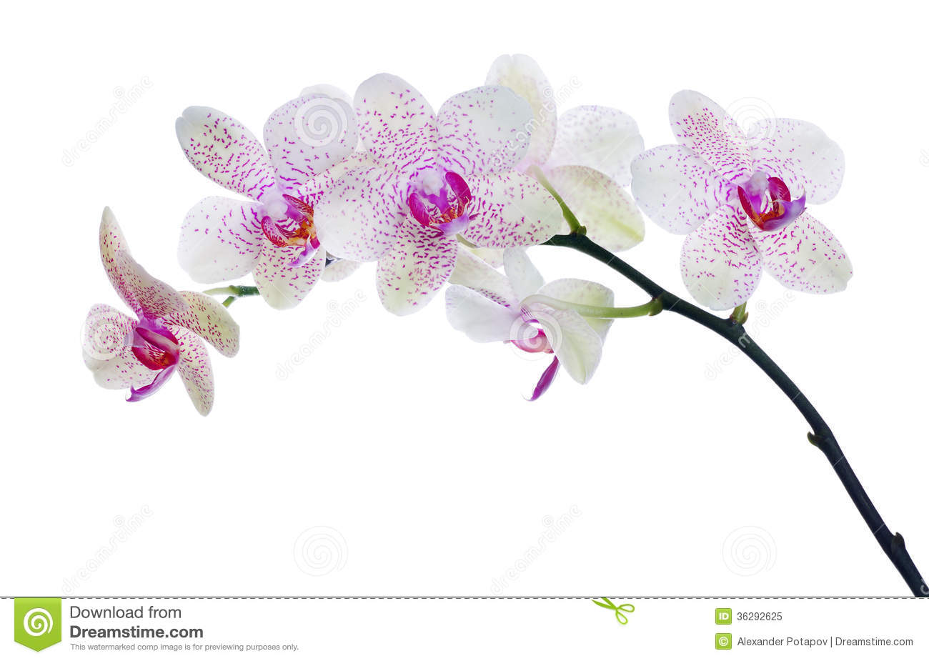 ... Stock Photo: Light color orchid flower in pink spots isolated on white
