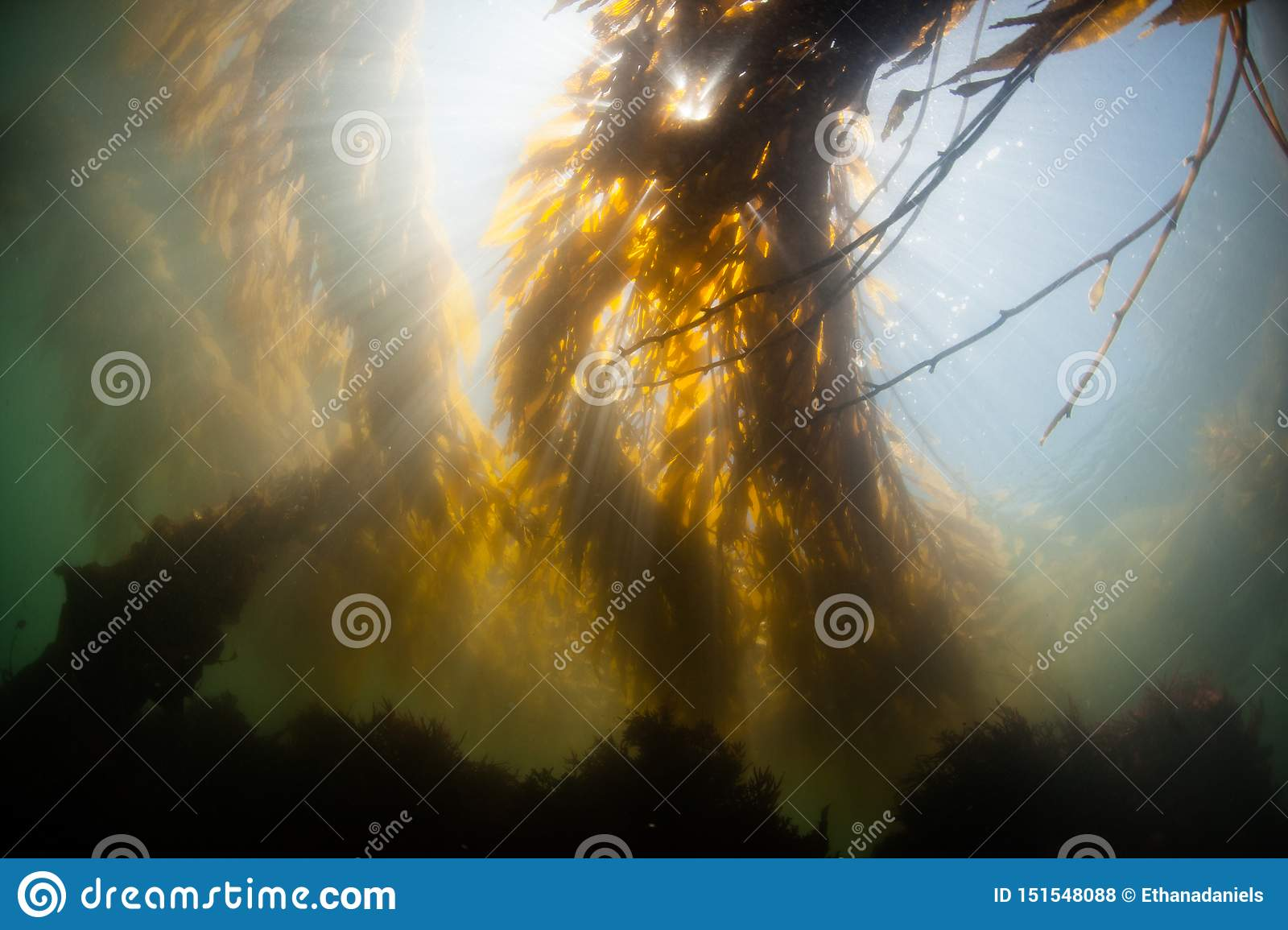 Light Descending into Giant Kelp in California Waters