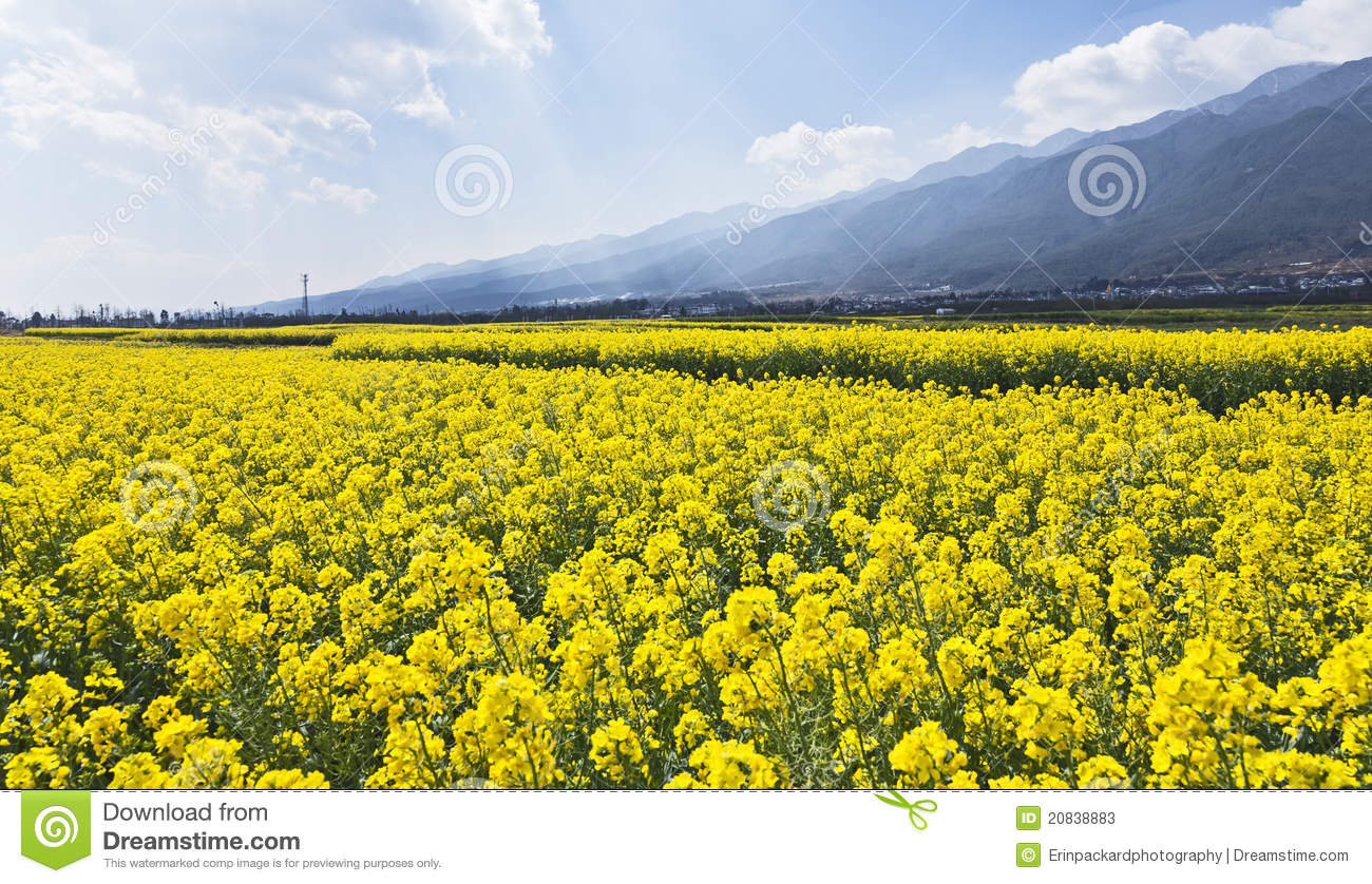 Light fall on yellow flowers stock image image of blooming crop download light fall on yellow flowers stock image image of blooming crop 20838883 mightylinksfo