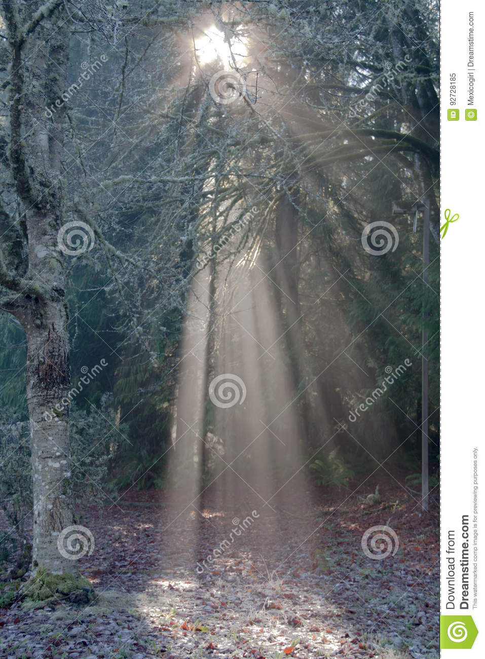 Download Light In The Forest Stock Image. Image Of Gray, Trees   92728185