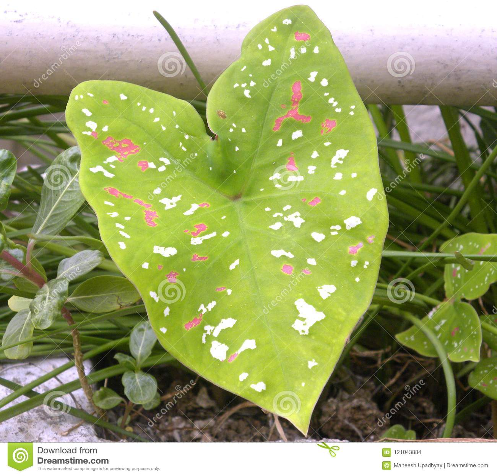 Light Green Color Leaf Of Caladium Tricolor Plant Stock Photo ...