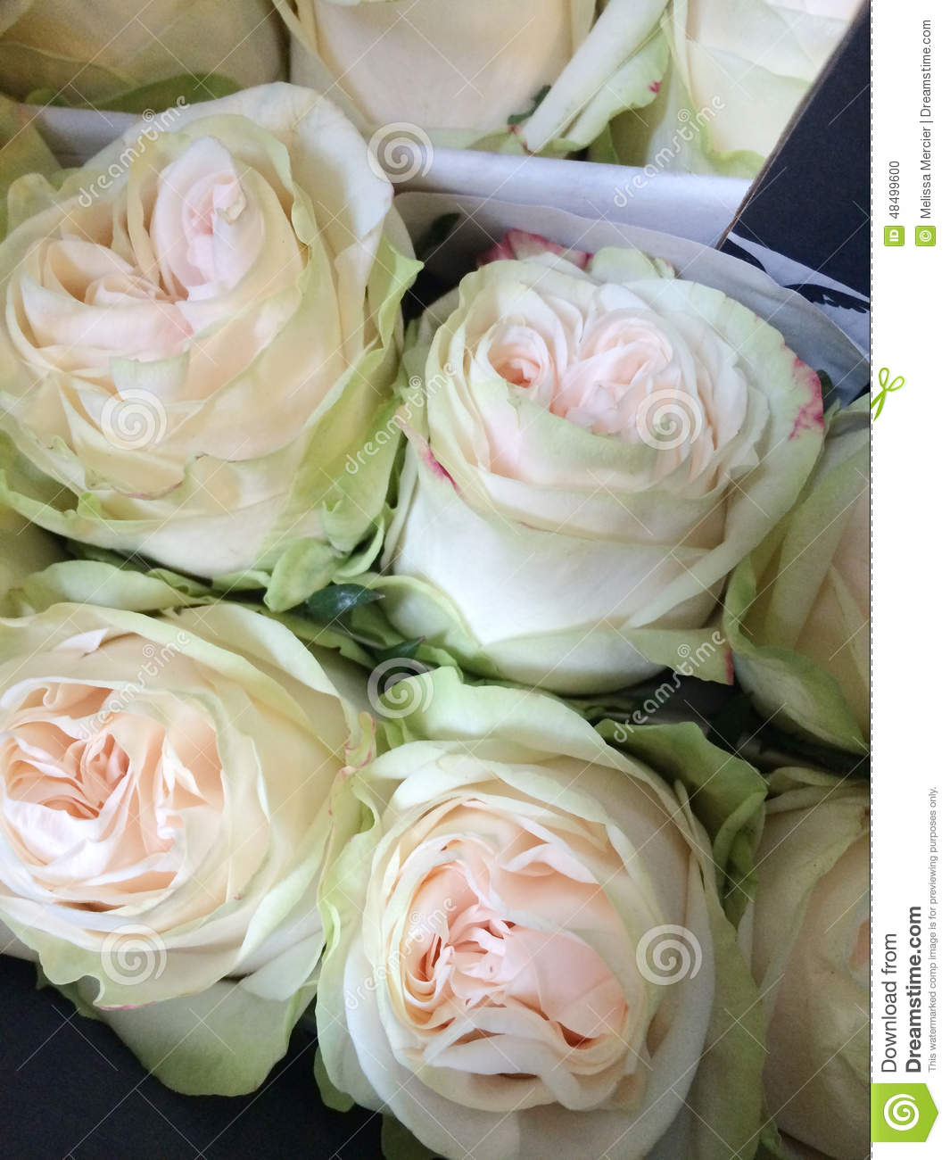 Light green and cream colored roses stock photo image for Green colour rose images