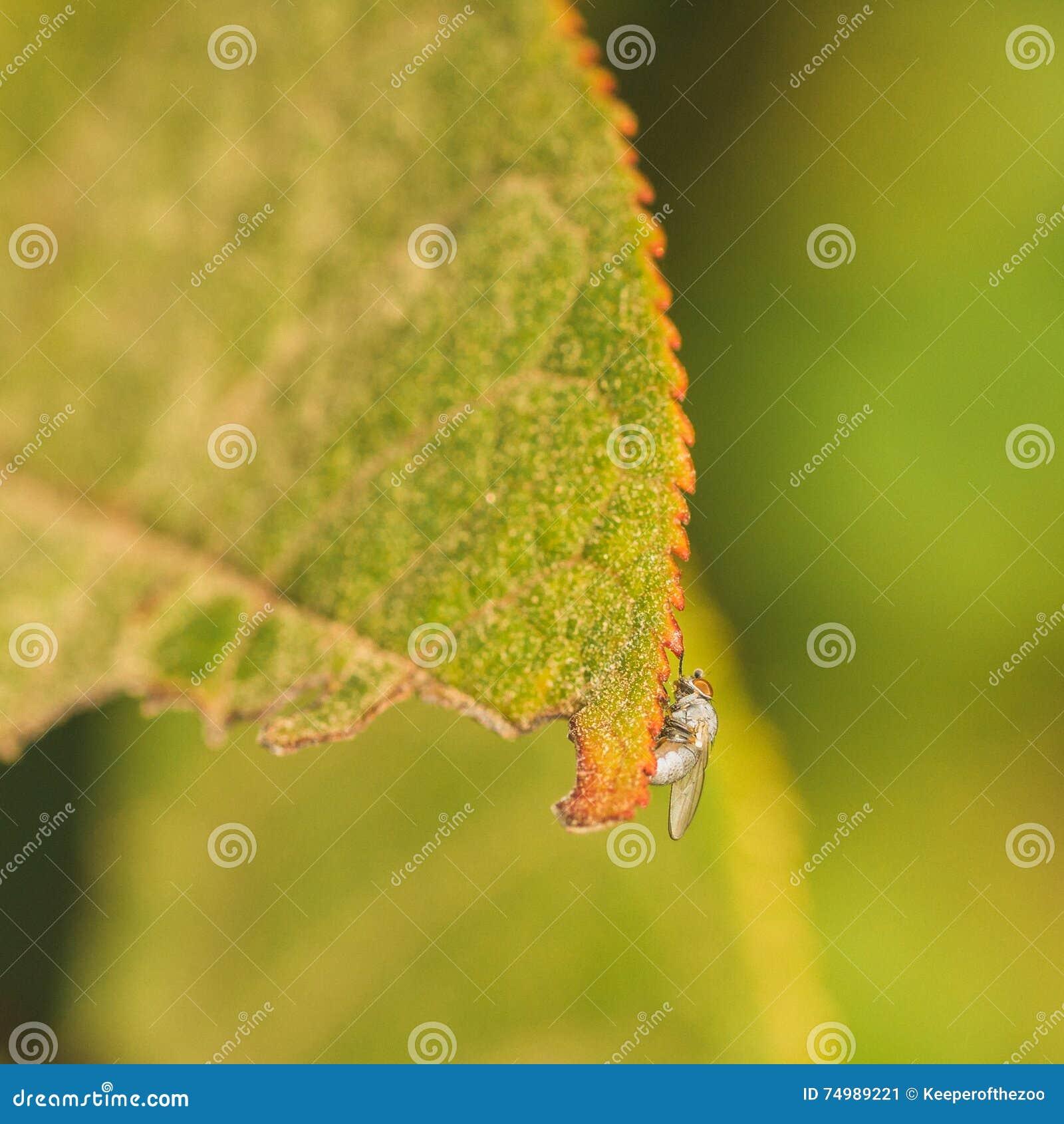 Light Grey Fly on Leaf Edge
