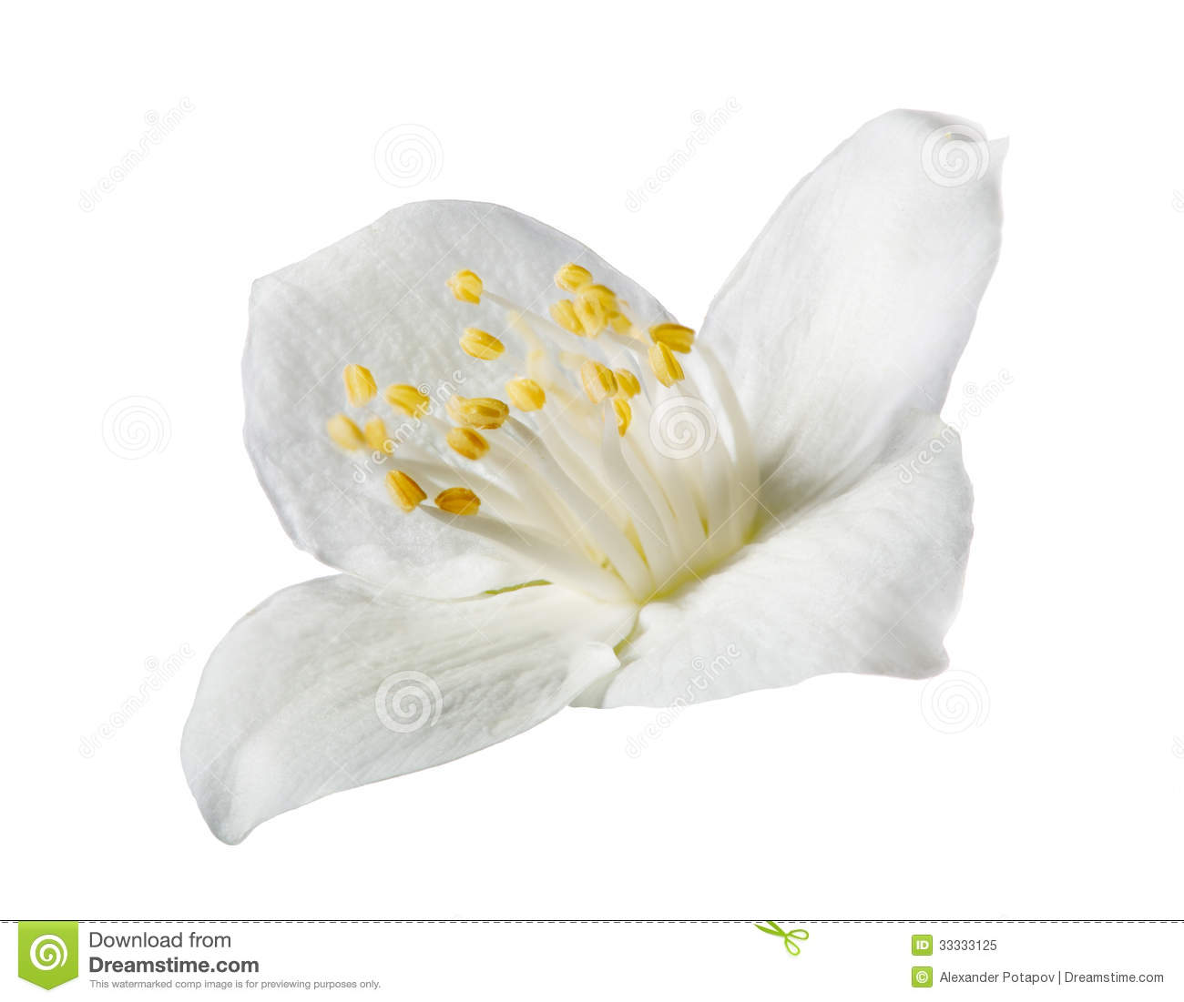 Light jasmin single flower on white stock image image of petal download light jasmin single flower on white stock image image of petal single mightylinksfo