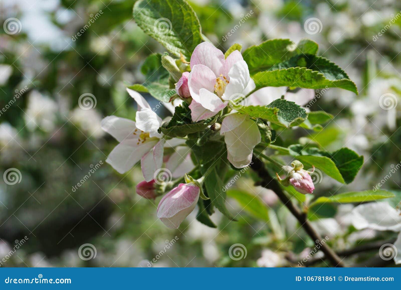 Light Pink Apple Blossom The Gardens Flowering Trees Stock Image