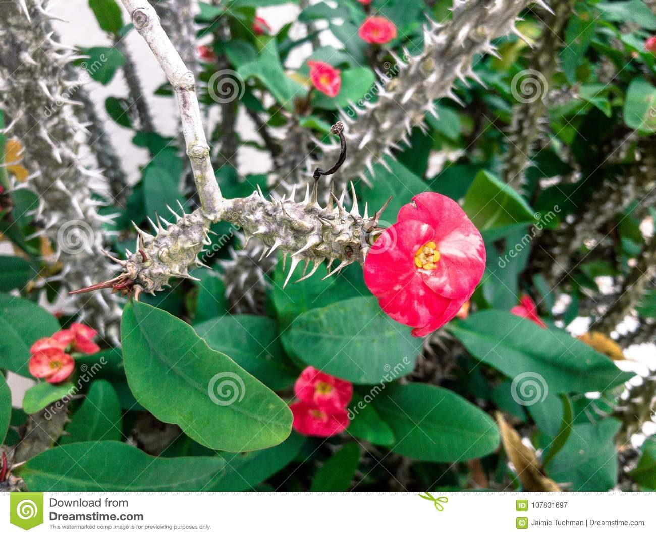Pink Flowers On A Thorny Plant Stock Image Image Of Asiaticum