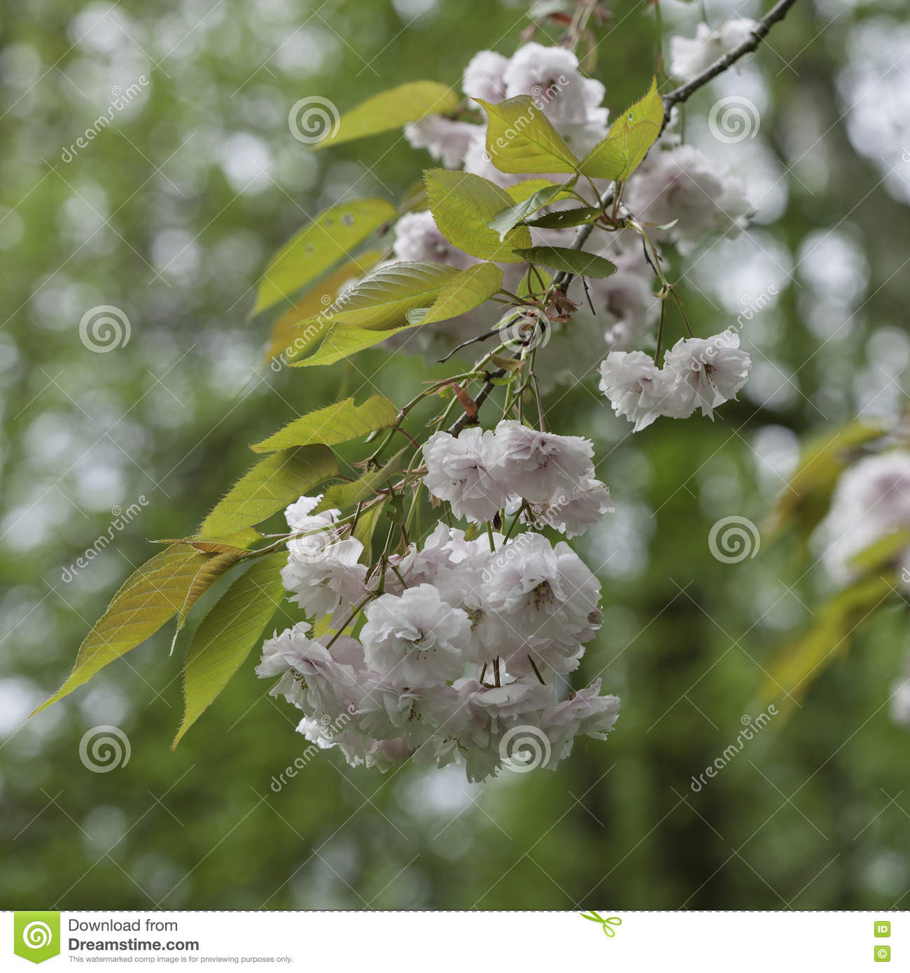 Light Pink Flowers On Tree Branches Stock Photo Image Of