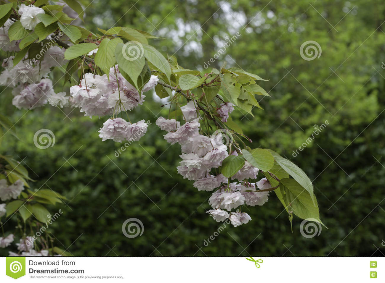 Light Pink Flowers On Tree Branches Stock Photo Image Of Botany
