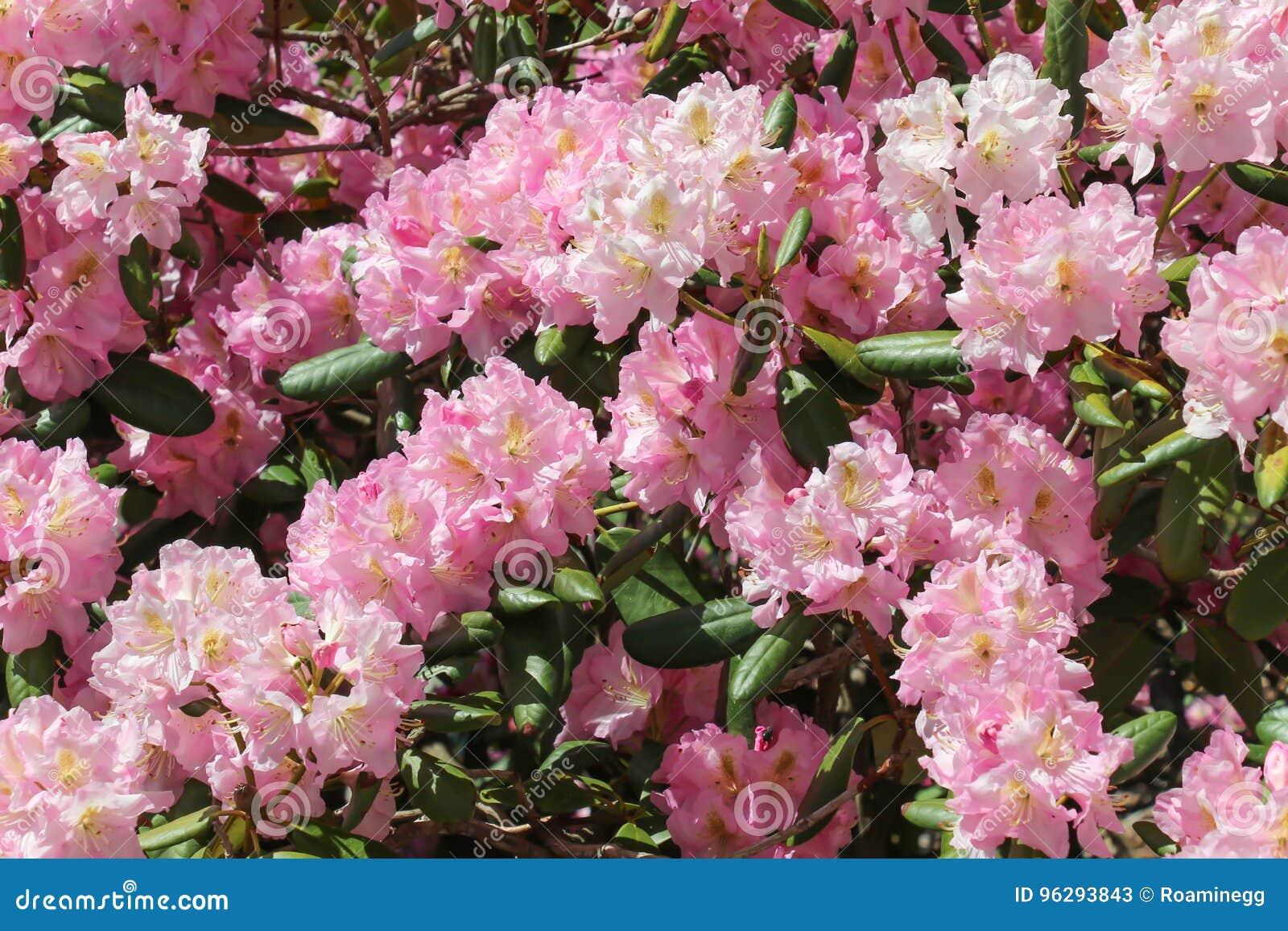 Light Pink Forsythia Bush In Full Bloom Stock Image Image Of