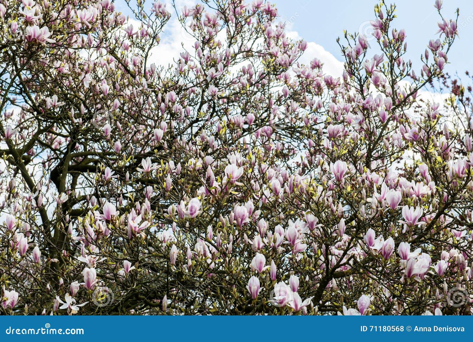 Light Pink Magnolia Tree Stock Photo Image Of Pleasure 71180568
