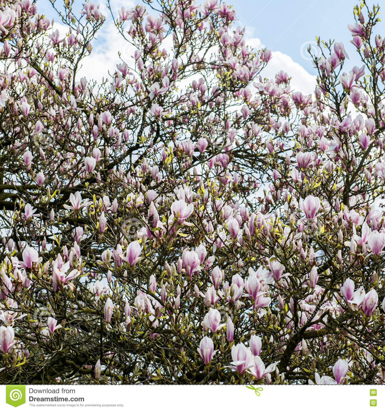 Light Pink Magnolia Tree Stock Image Image Of Leaves 71181685