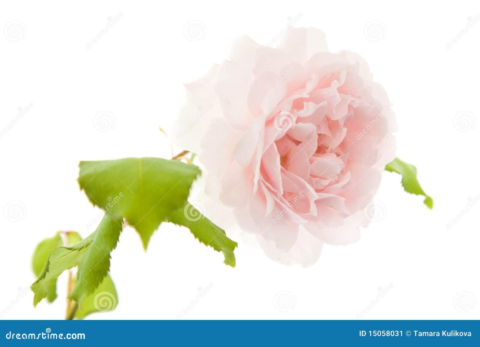 Light Pink Old Fashioned Climbing Rose Stock Image Image