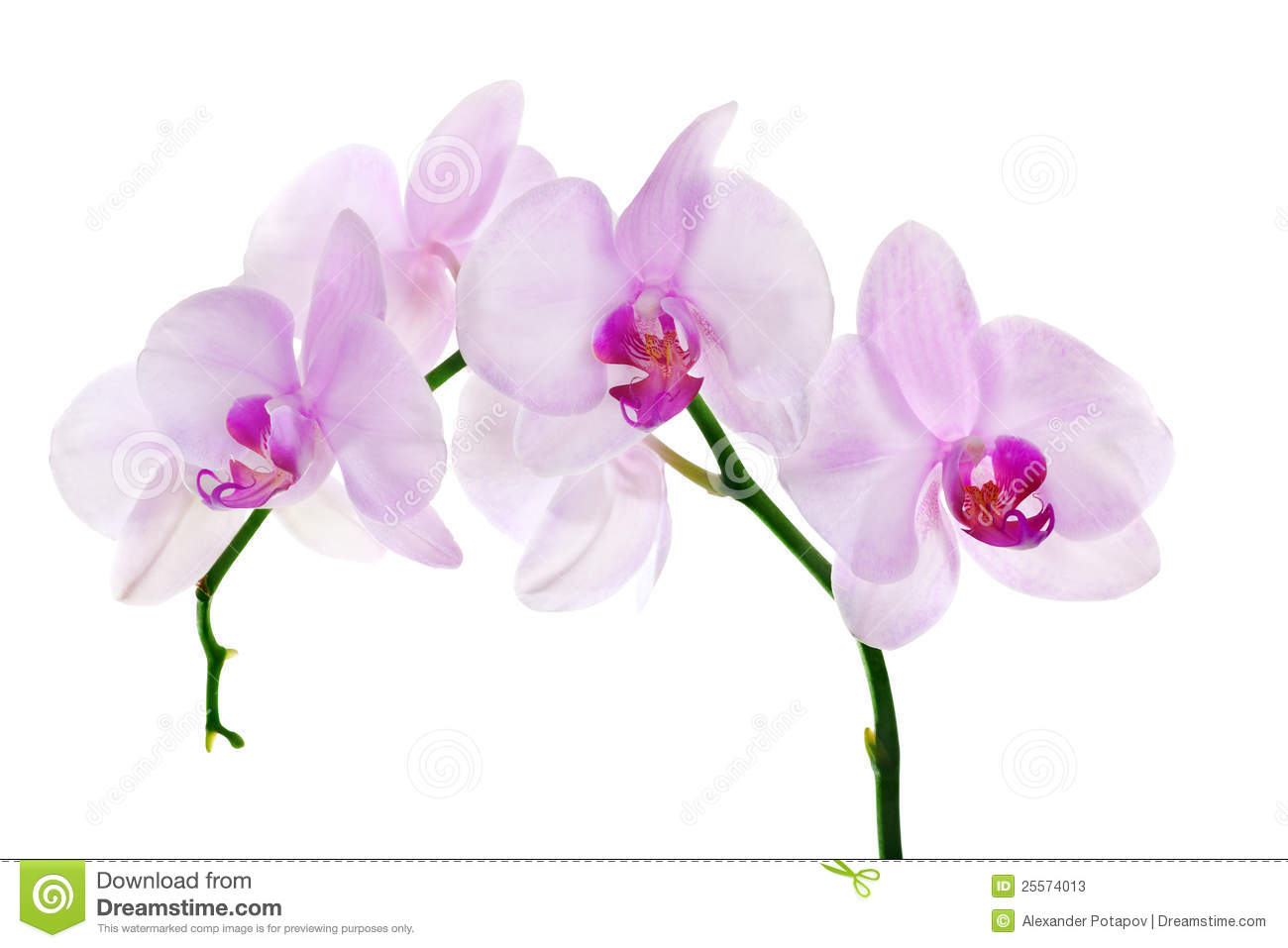 Light pink orchid flowers isolated on white background.