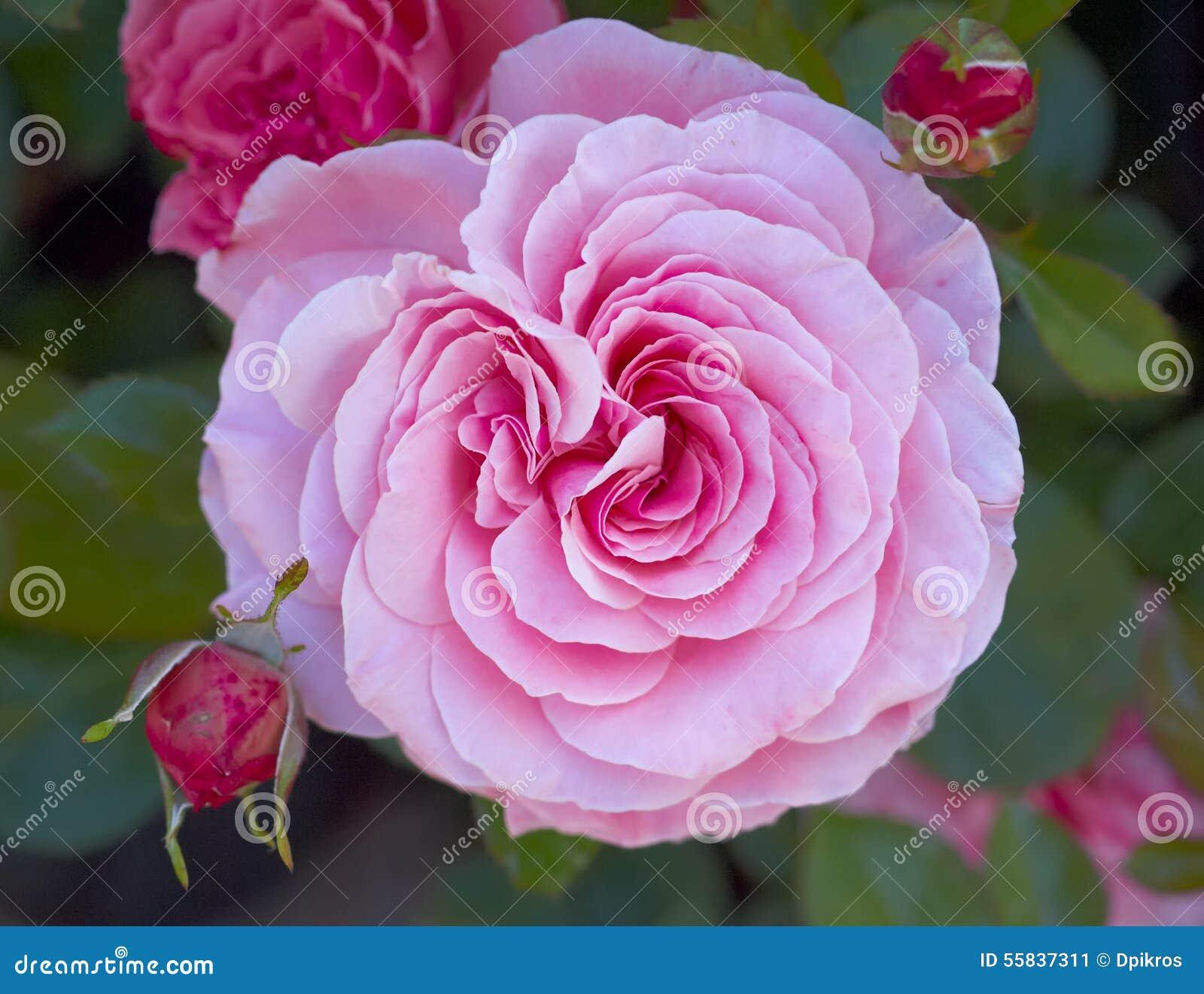 Light pink rose flower close up stock image image of freshness download light pink rose flower close up stock image image of freshness decoration mightylinksfo