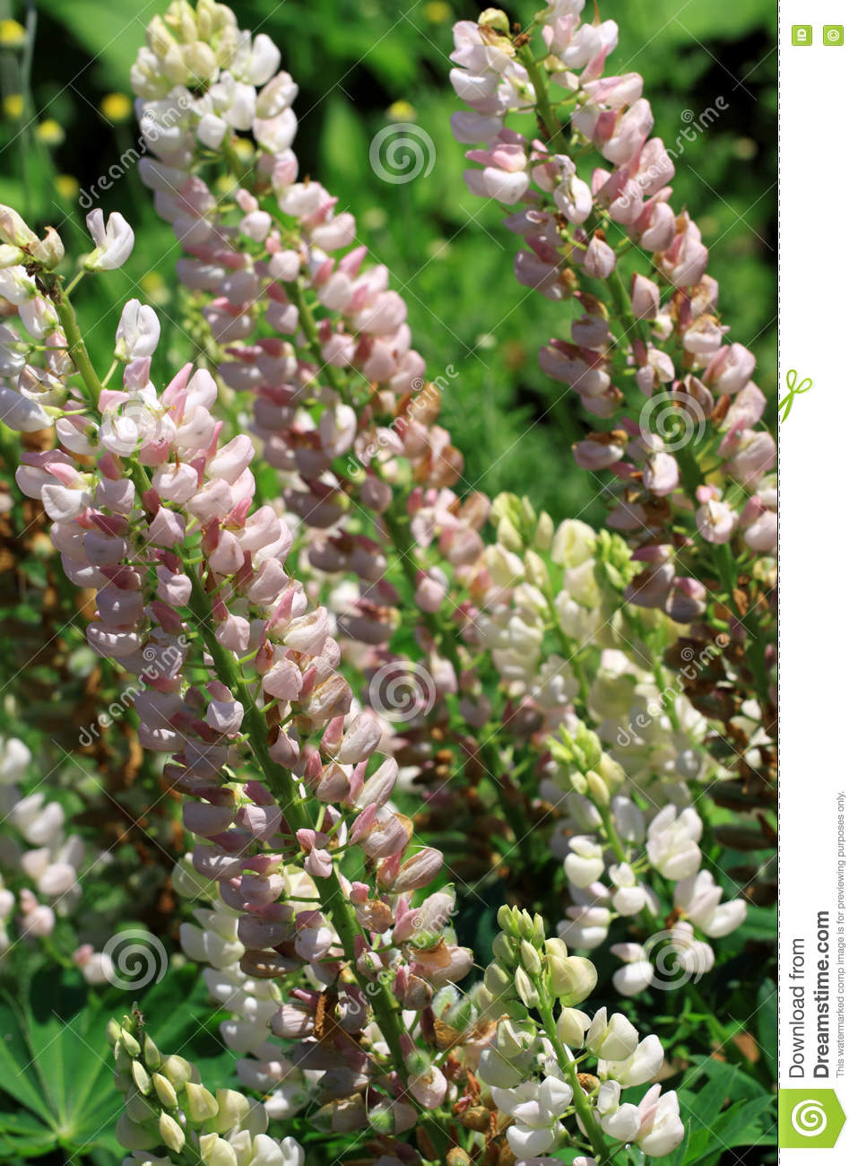 Light Pink To White Lupine Flowers Lupinus Polyphyllus Stock Photo