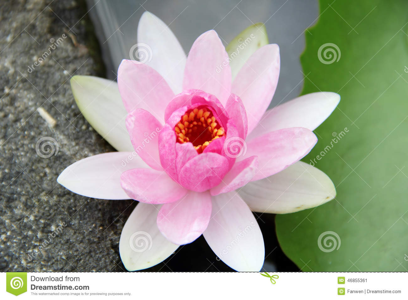 Light Pink Water Lily Stock Photo