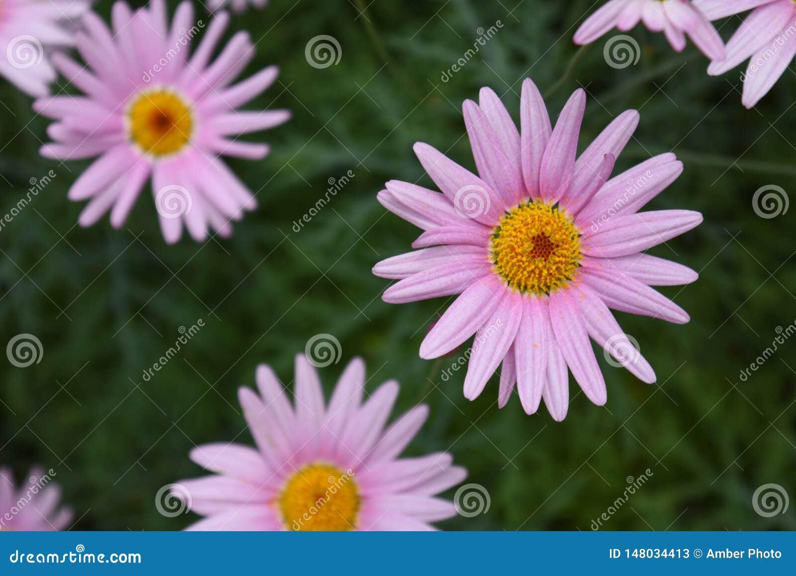 Light Purple Pink Daisy Flowers Blossom
