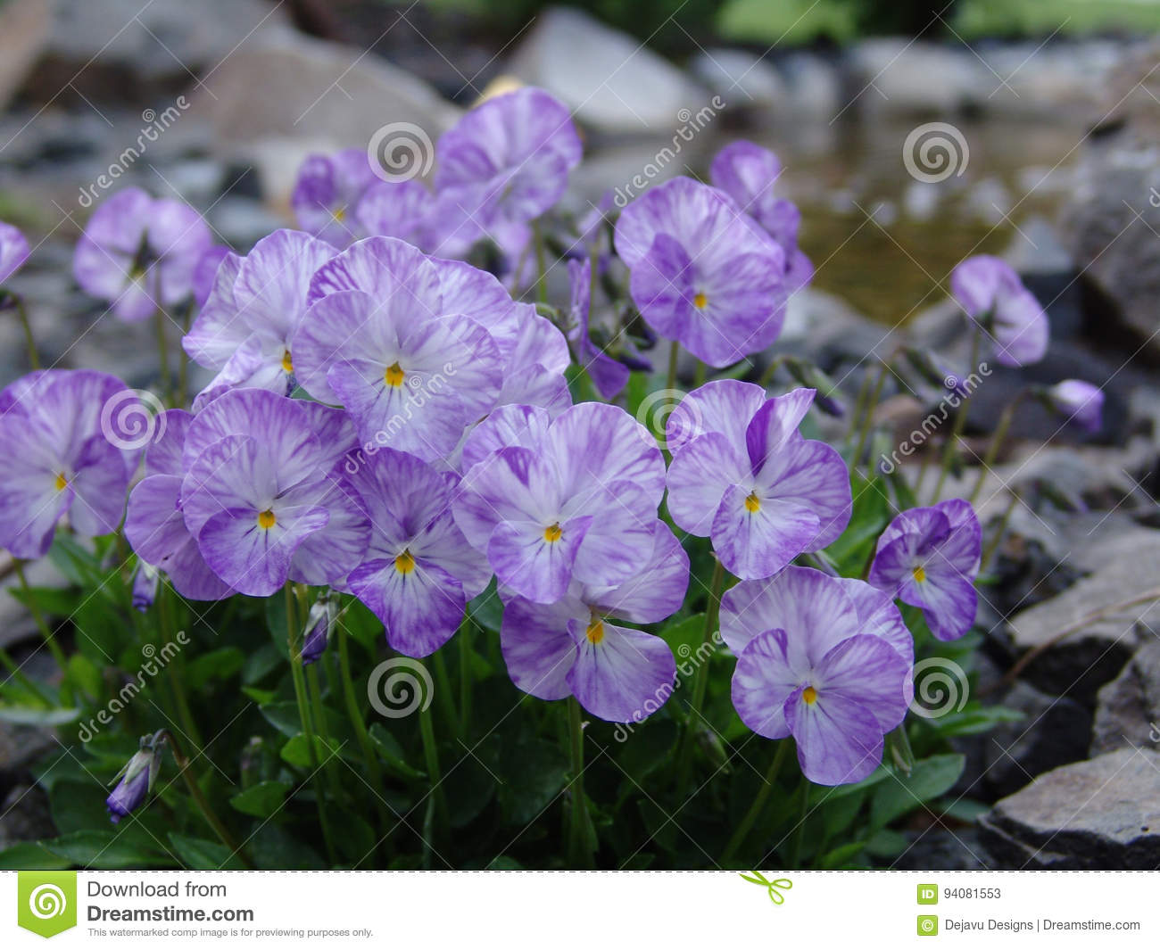 Light Purple And White Pansies Flowering In A Garden Stock Image
