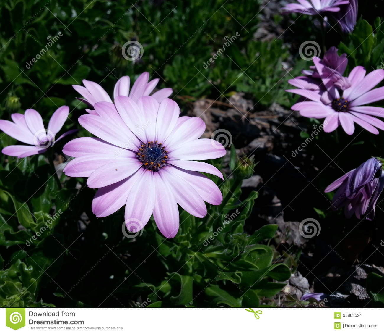 Light purple and white petaled flower stock photo image of light purple and white petaled flower with blue center izmirmasajfo