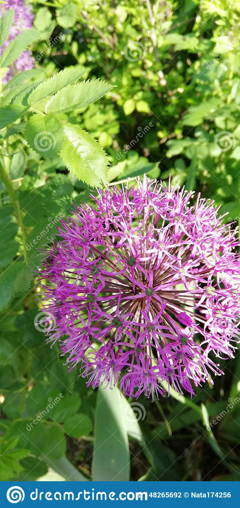 Light and shadow on openwork balloons of purple inflorescences of decorative garlic against the background of summer grass. Summer