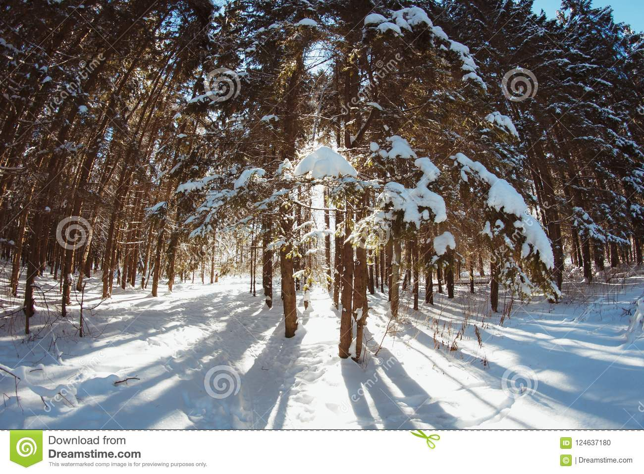 Light and shadows in the winter spruce forest in winter