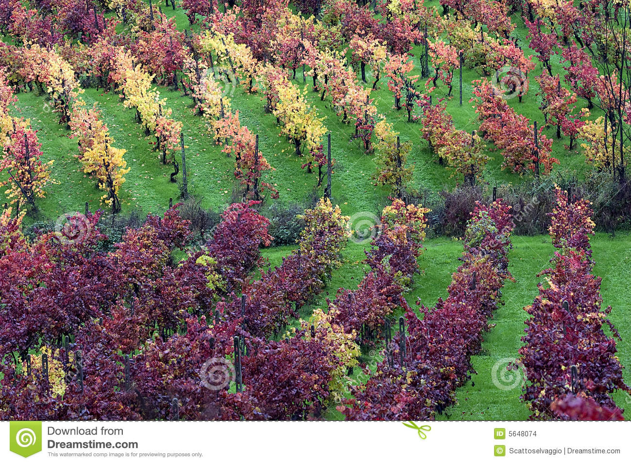 The light in the vineyard. Colors of autumn vineyards in the Scuropasso Valley, Rocca de Giorgi, Oltrepo Pavese, Pavia, Italy.