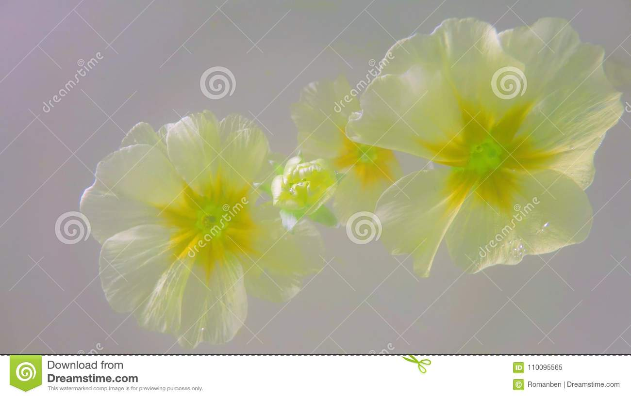 Light Yellow Flowers Floating On A Monophonic Background Stock Image