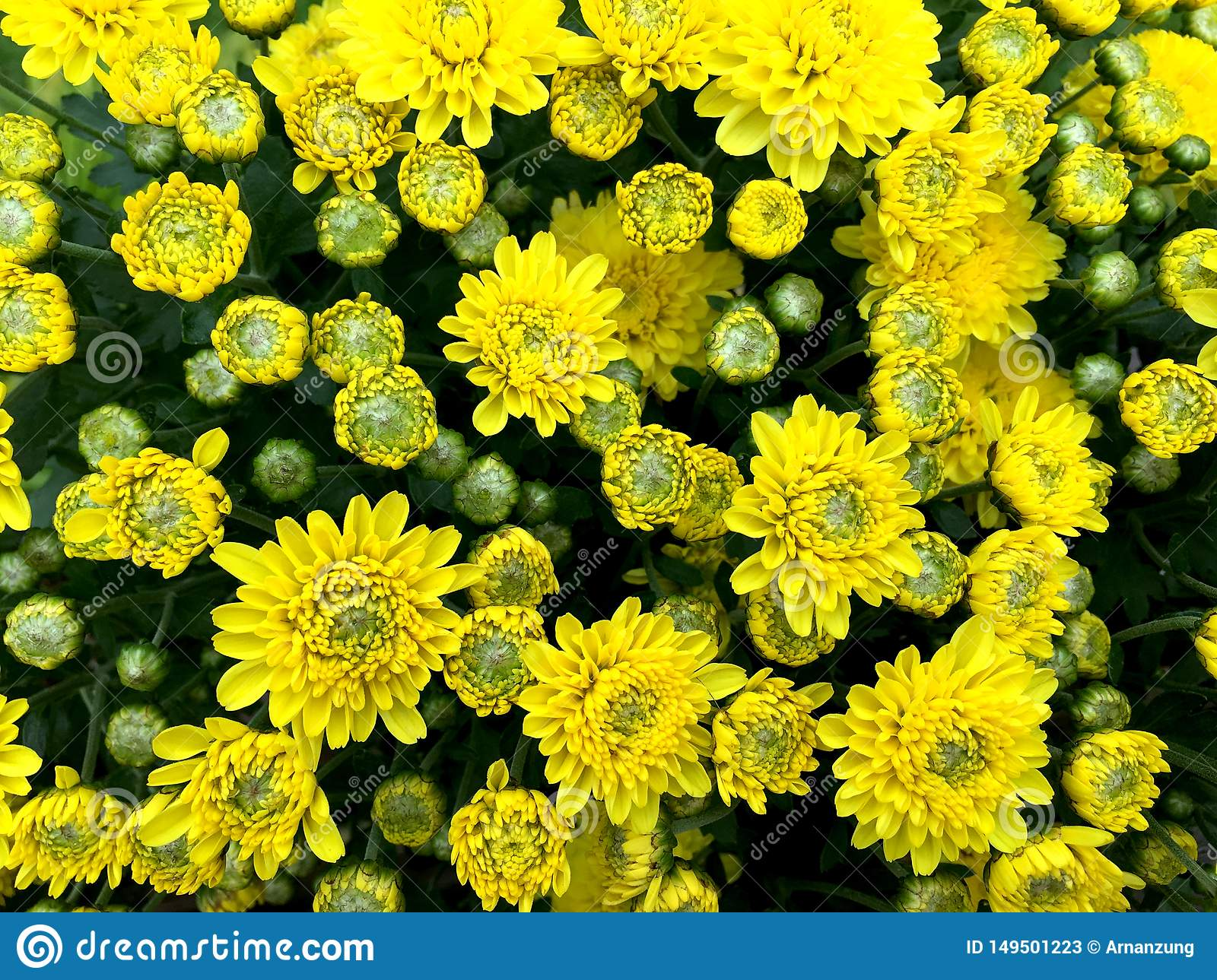 Light yellow mix green chrysanths flower blooming front view in the pot.