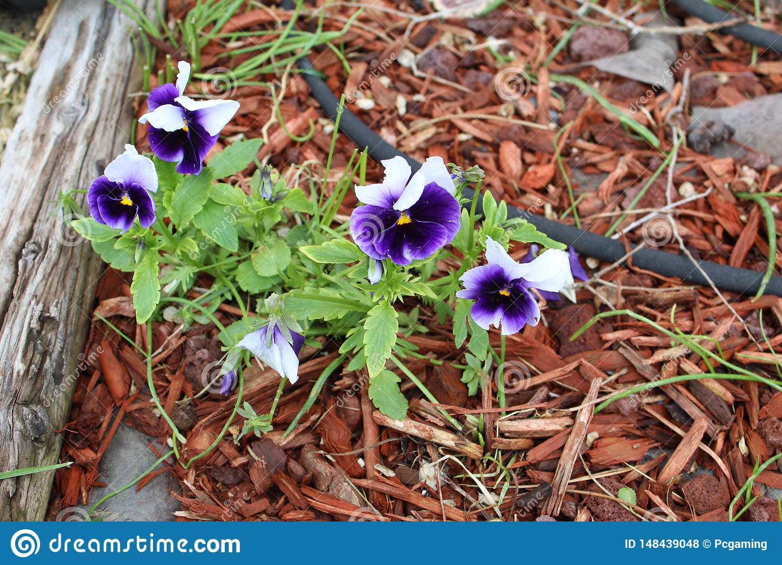 Dark purple and white  flowers