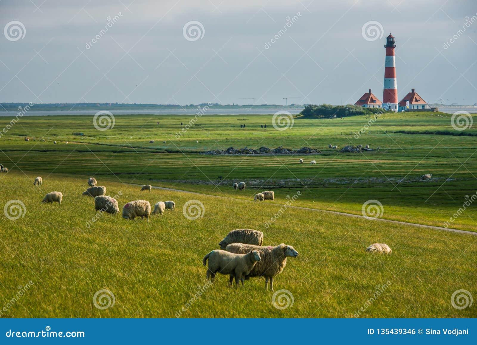 Lighthouse westerhever sheep field Sankt Peter Ording