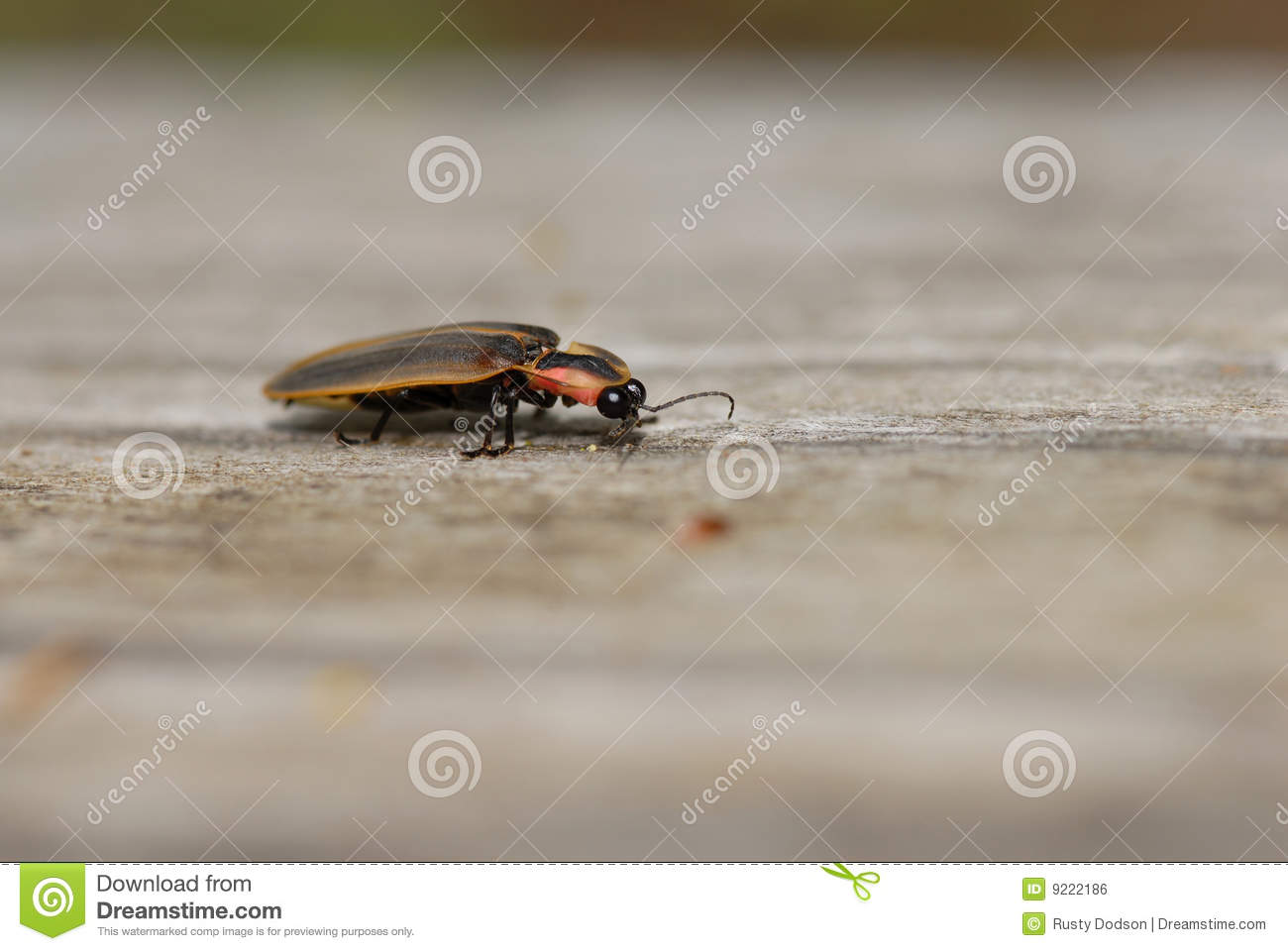 Lightning Bug Royalty Free Stock Image Image 9222186