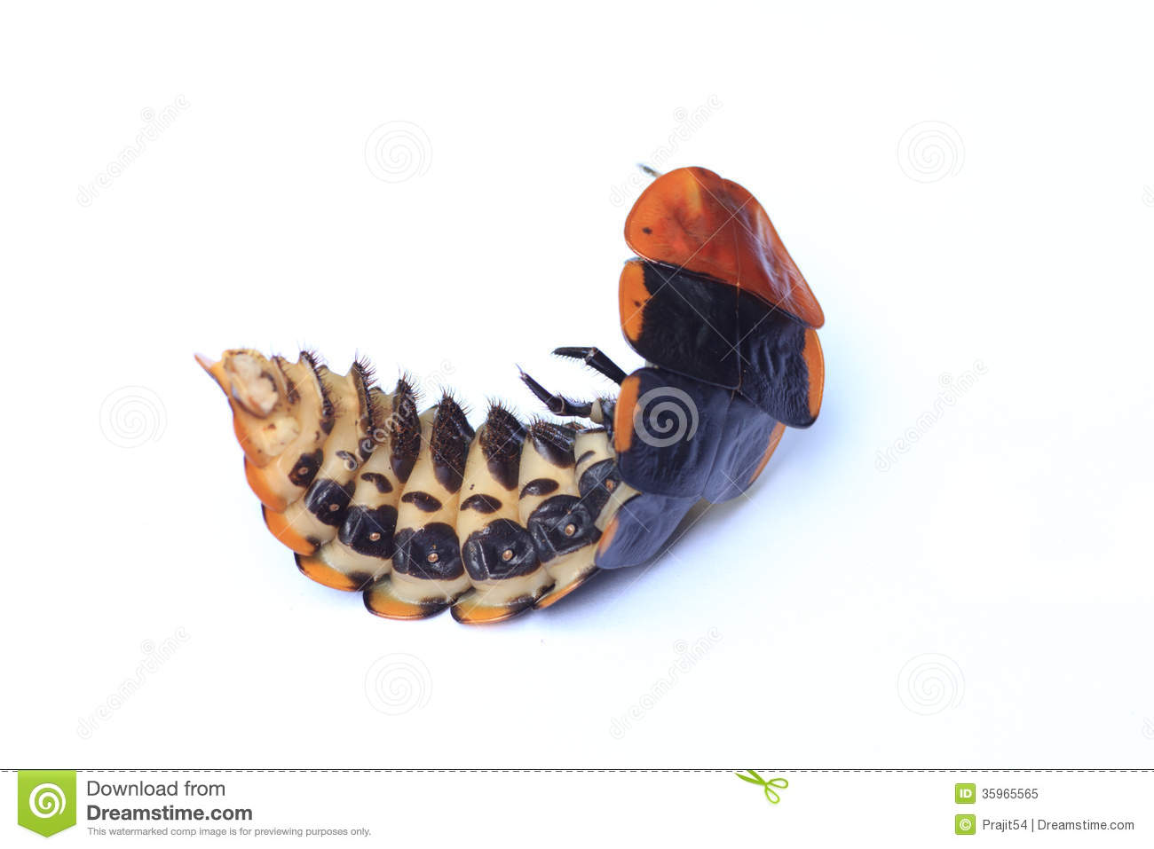 Lightning Bug Royalty Free Stock Photo Image 35965565