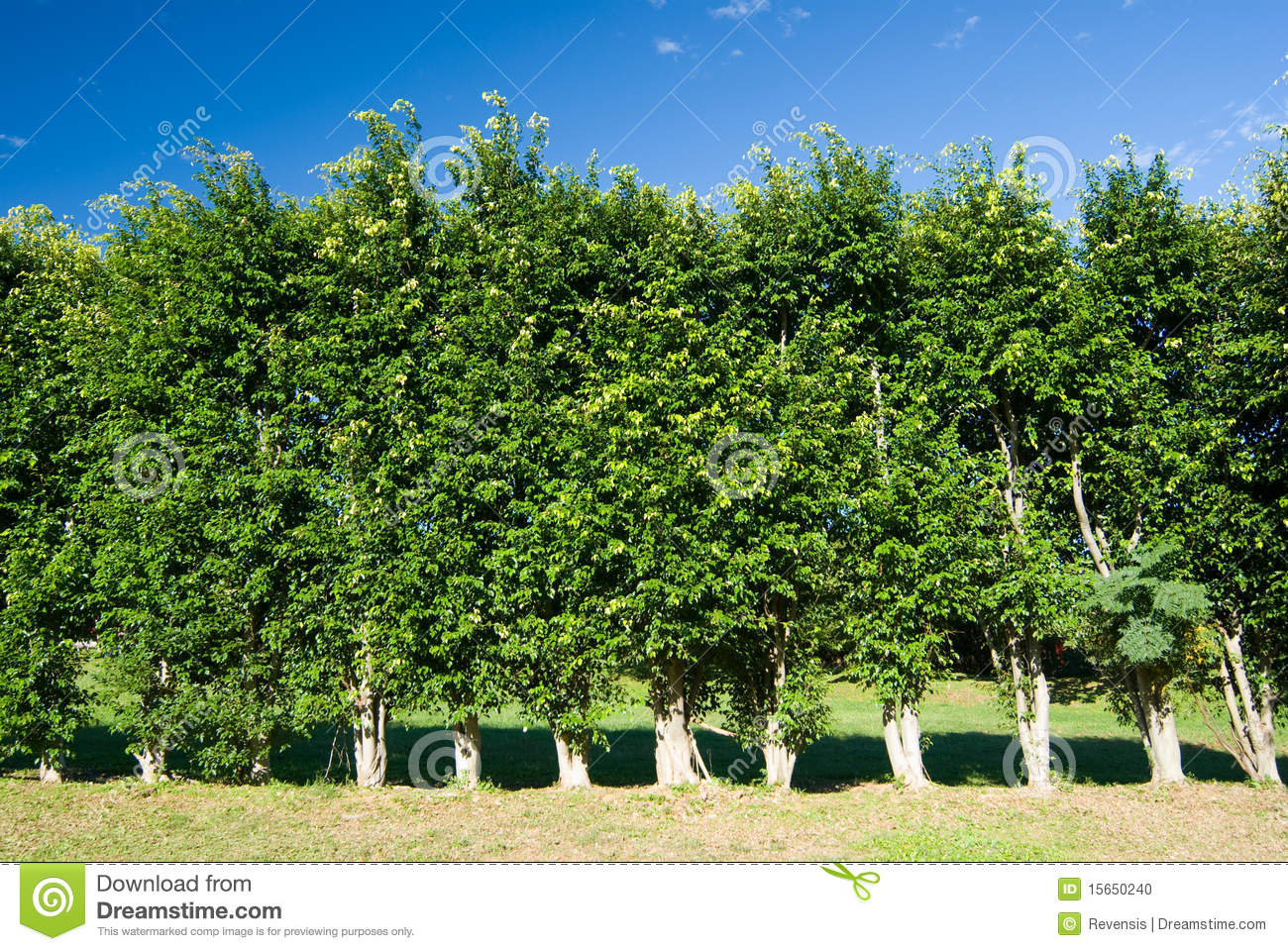 ligne de mur vert d 39 arbres photo stock image du nature 15650240. Black Bedroom Furniture Sets. Home Design Ideas